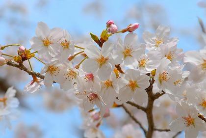 お花見シーズン到来間近♪